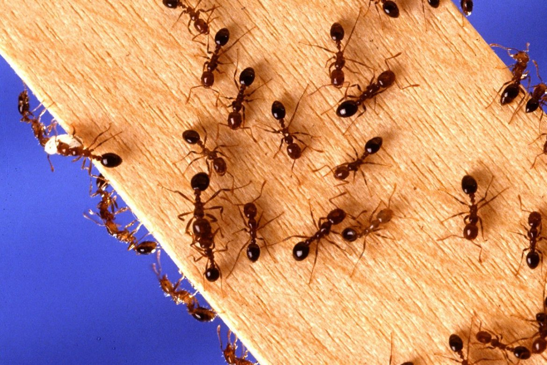 ants - winter pest