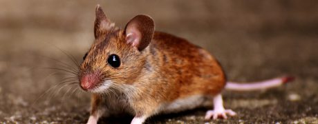 mouse - contact aantex pest control