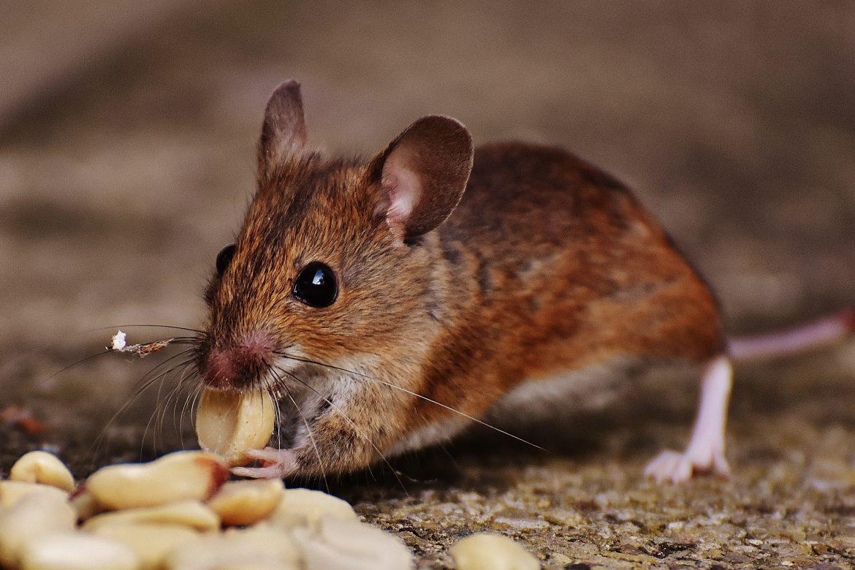 rat - winter pest