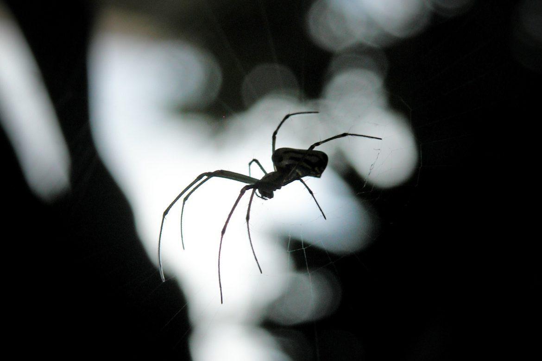 spider- winter pest