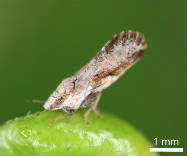 Asian Citrus Pest Causes Scare