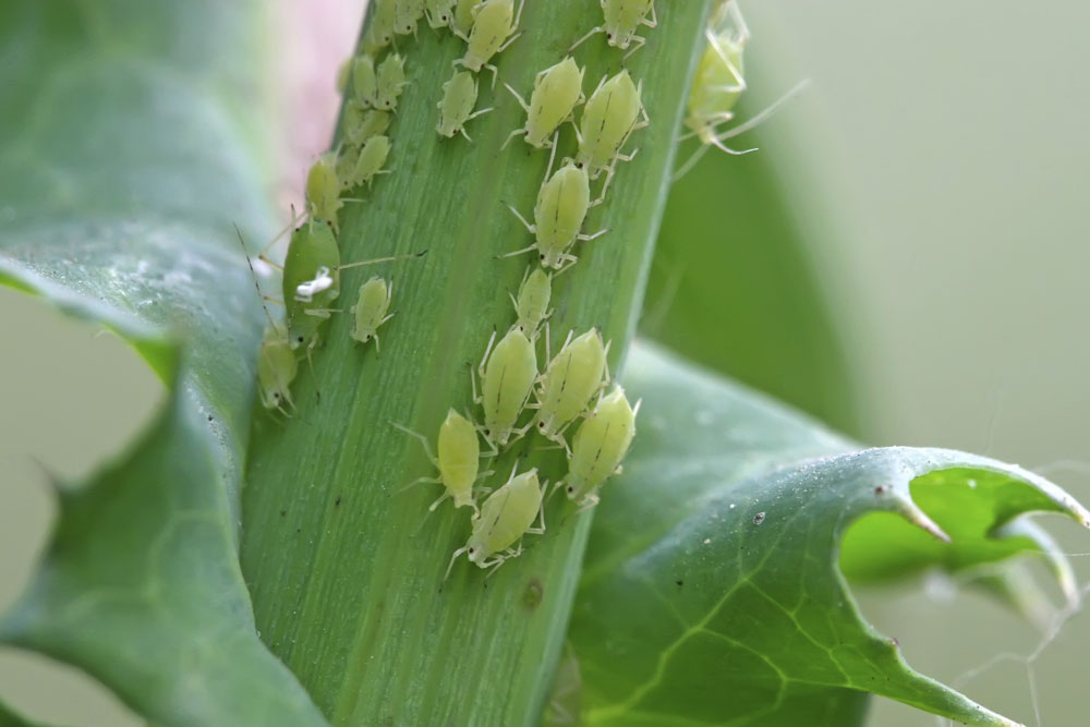 aphids-pest control
