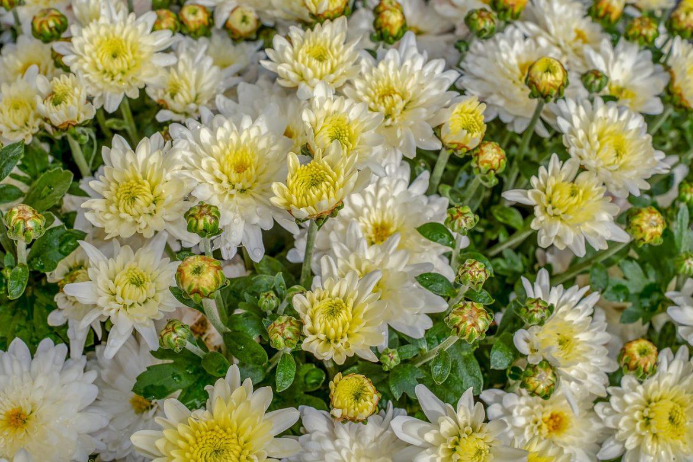 eco pest control - chrysanthemums
