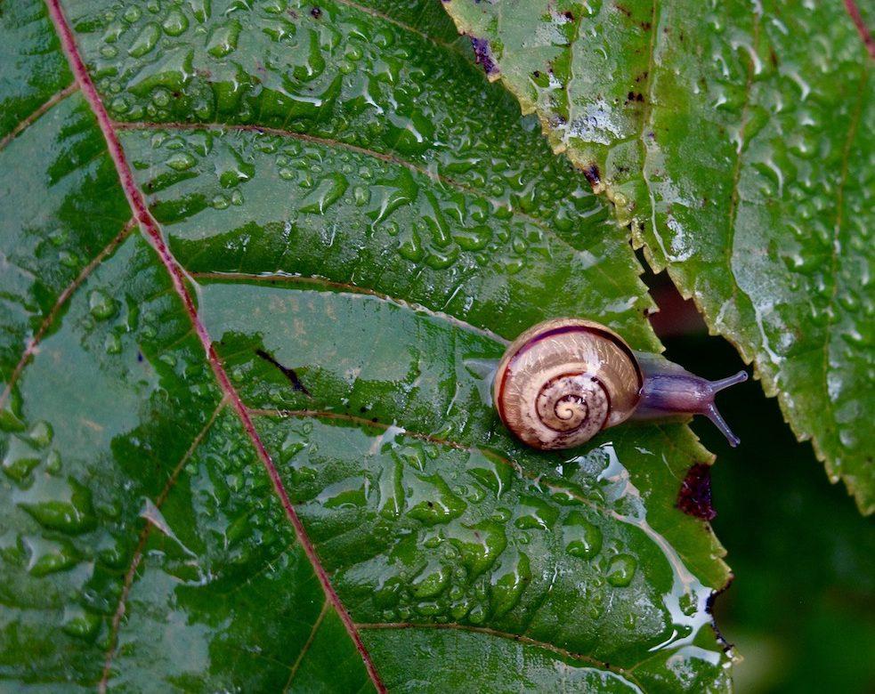 snails gardening