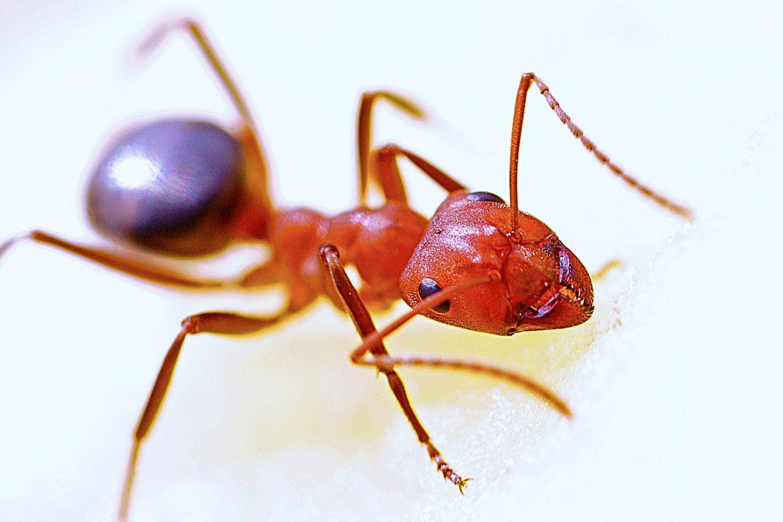 Carpenter Ant - Aantex Pest Control