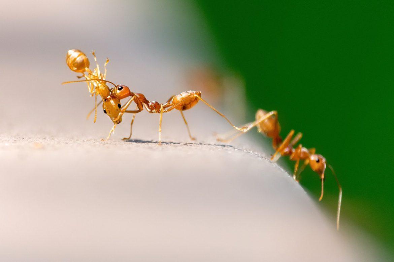 Pharaoh Ants - Aantex Pest Control