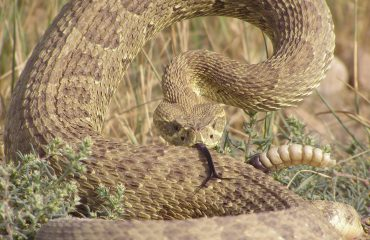 rattle snakes contra costa county