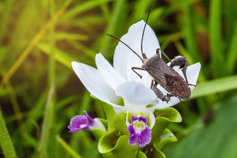 Natural Repellent for Squash bug