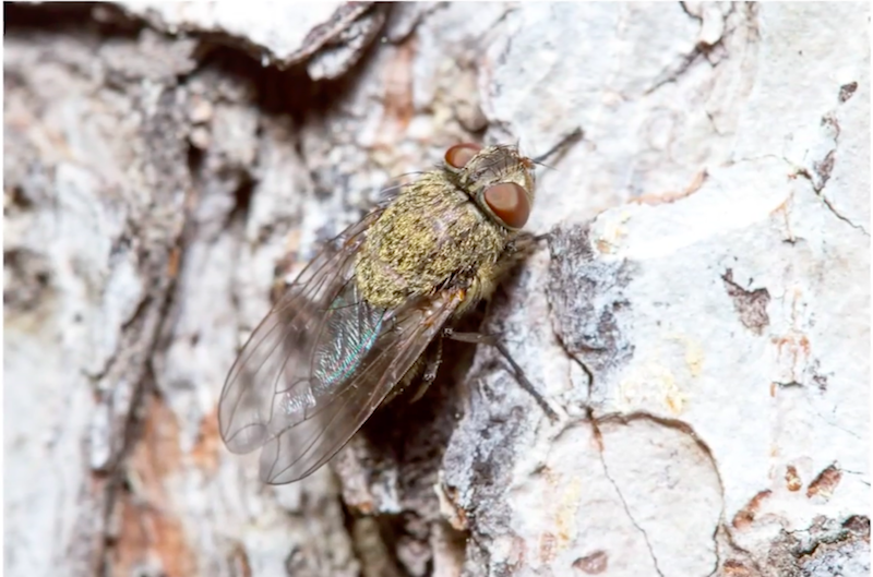 What Are Cluster Flies and How Do I Get Rid of Them?