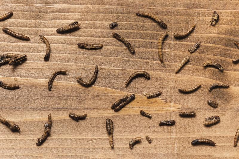 maggots - flies