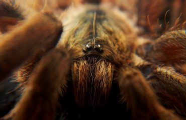 Close Up Tarantula