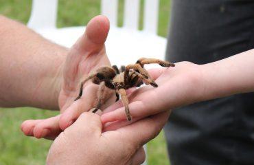 Handling A Tarantula