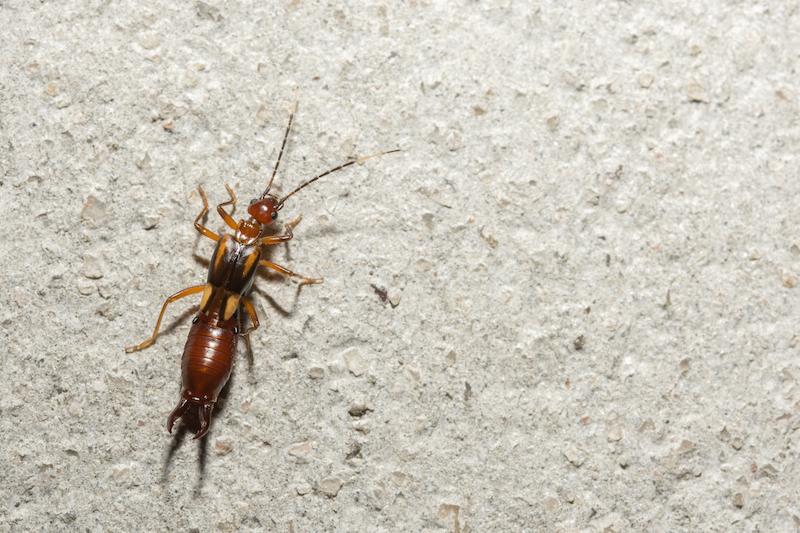Earwig - Pest control