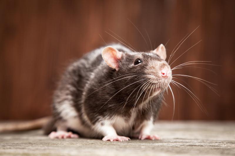 Rat - Fall Pest