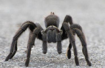 Black Tarantula