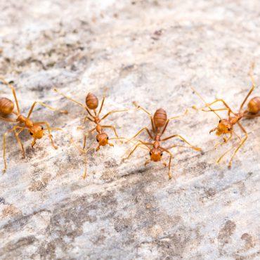 Winter Pests - Ants