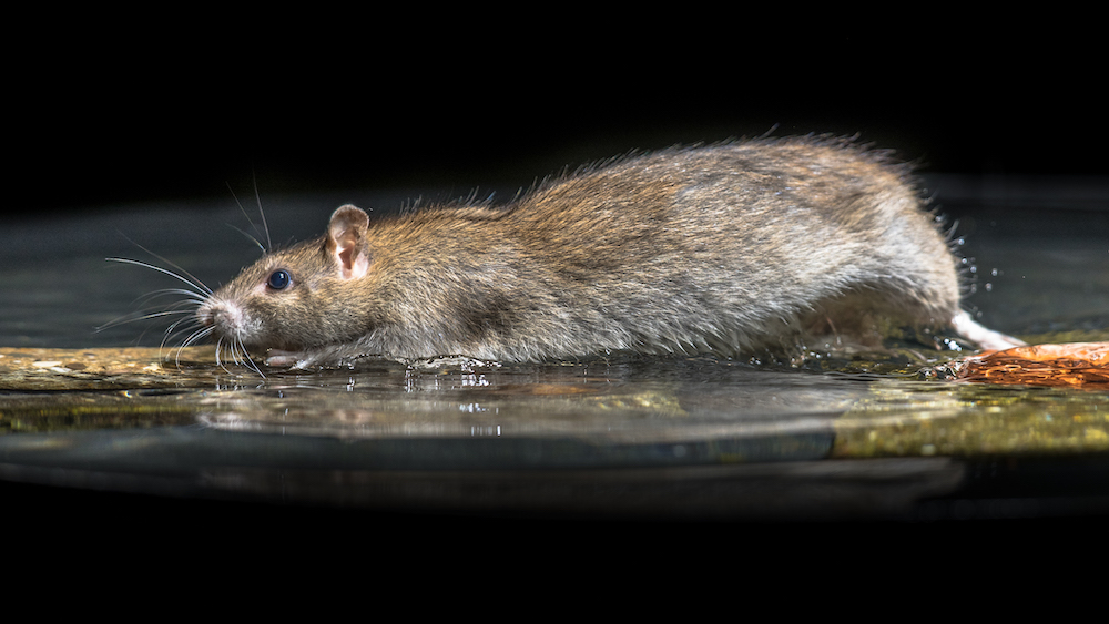 Social Isolation Can Mean A Rodent Infestation