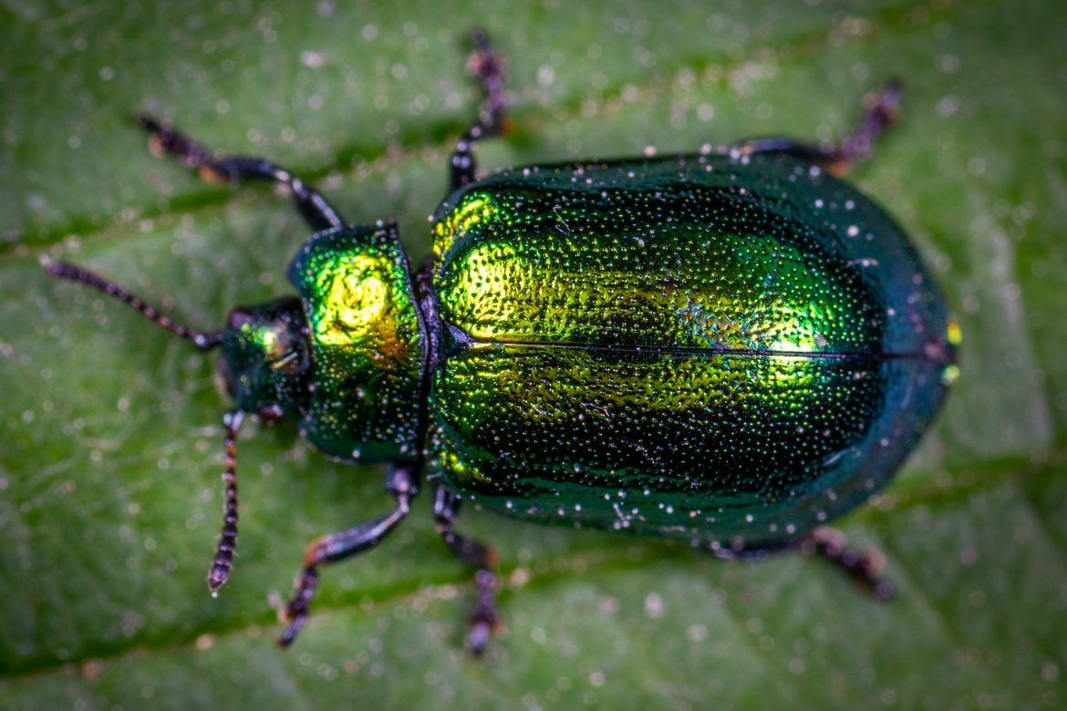 June Bugs – How To Identify and Control Them In Your Yard
