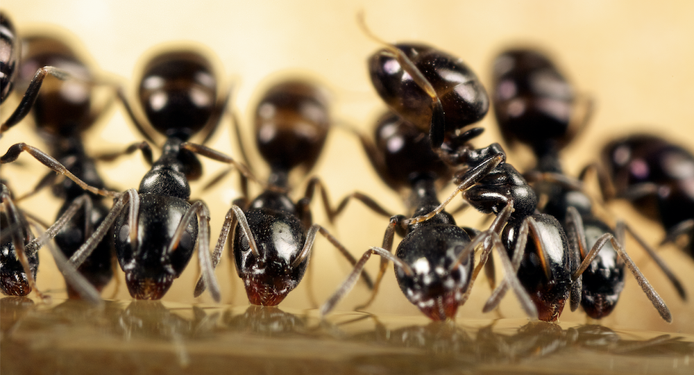 How to Prevent and Eradicate Ants