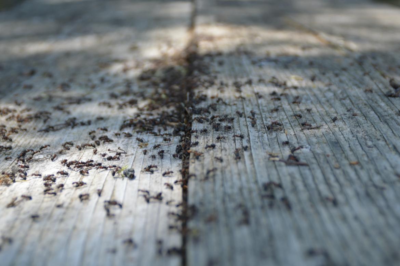 DIY Ant Repellent