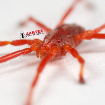 Aantex Pest Control - Clover Mite