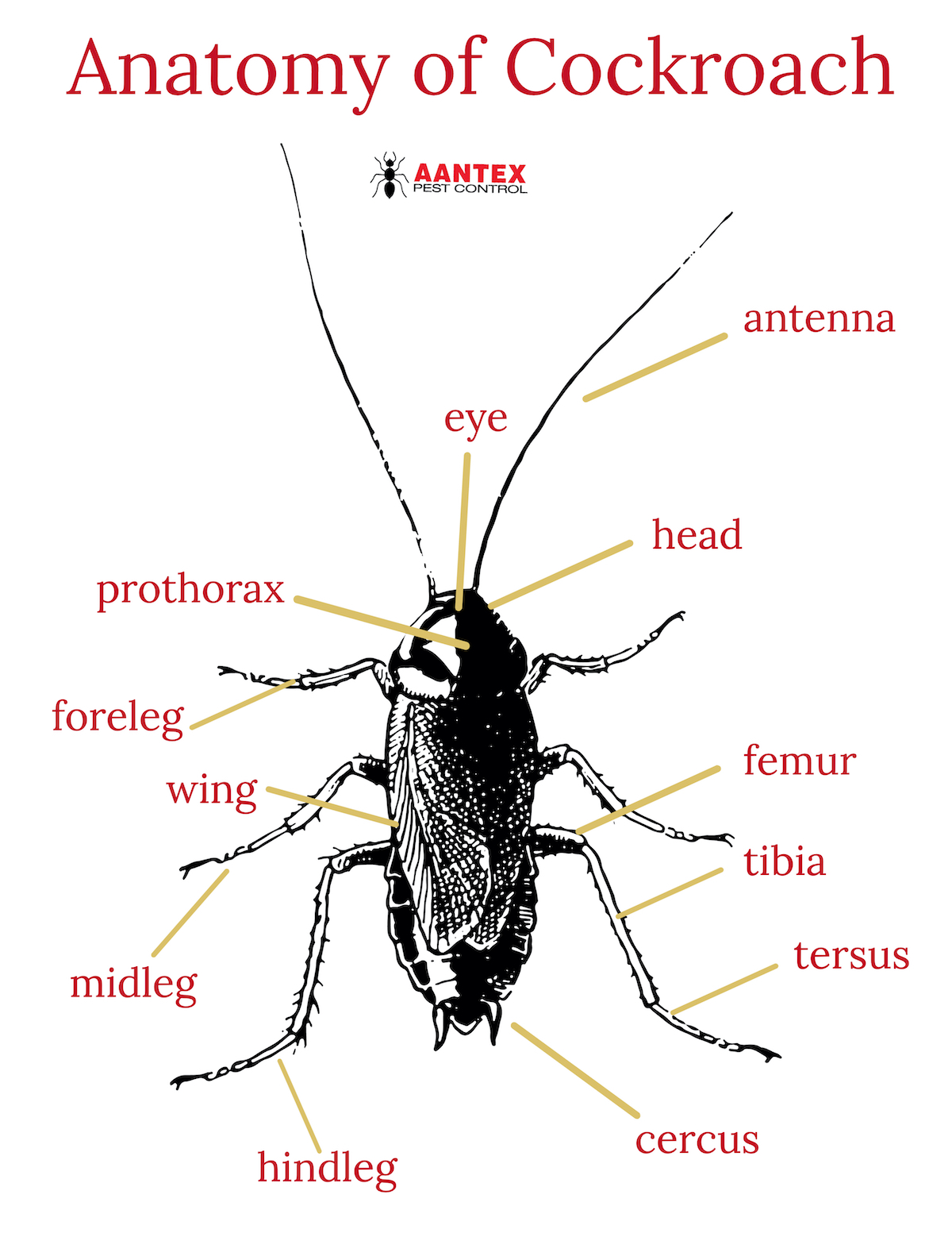 Anatomy of Cockroach