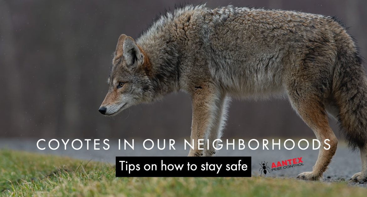 Coyotes in Our Neighborhoods