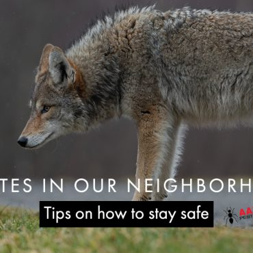 Coyotes in our neighborhood - Aantex Pest Control