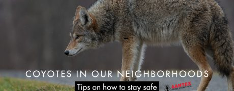 Coyotes in our neighborhood - Aantex Pest Control