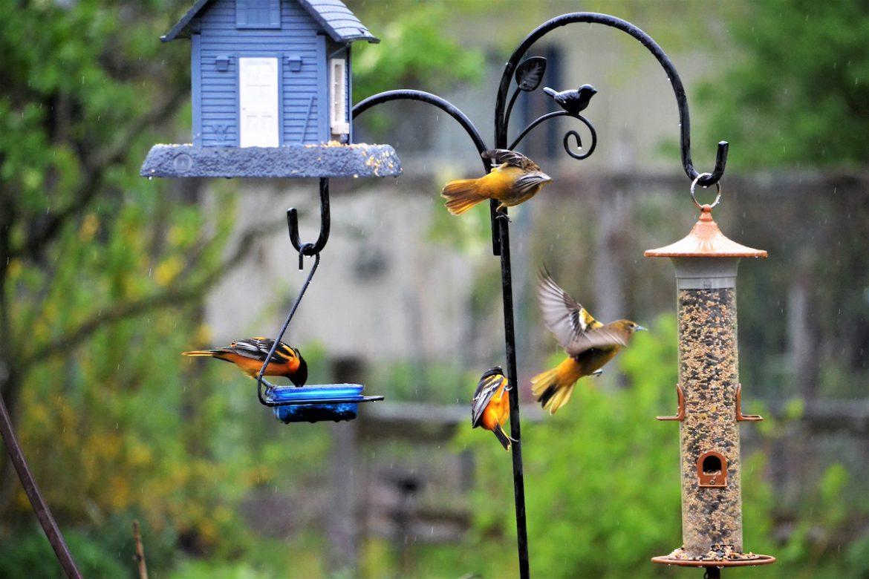 Bird Feeders Spread Salmonellosis