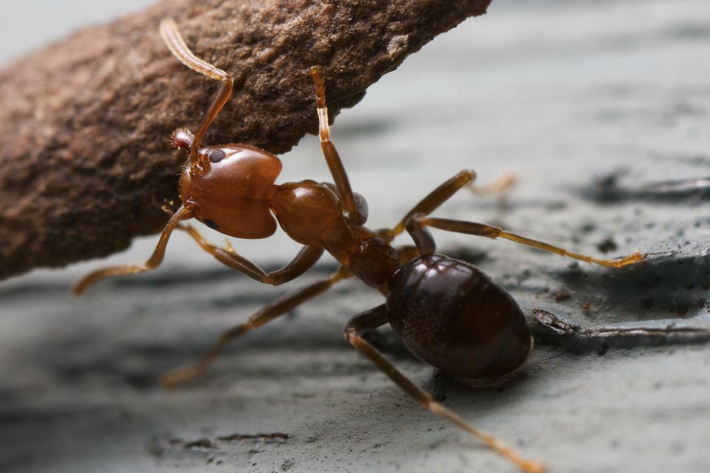 Summer Pest - Ants