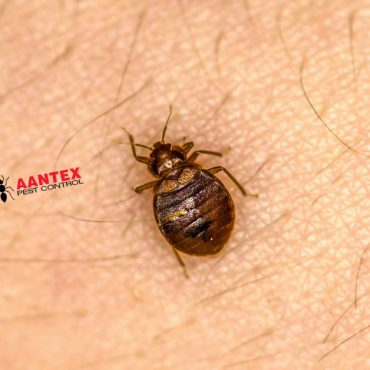 Bedbugs- Aantex