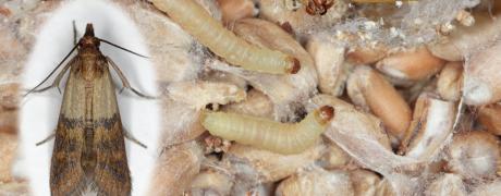 Pantry Moths - Aantex Pest Control