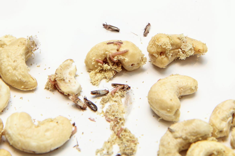 Pantry Moths in Nuts